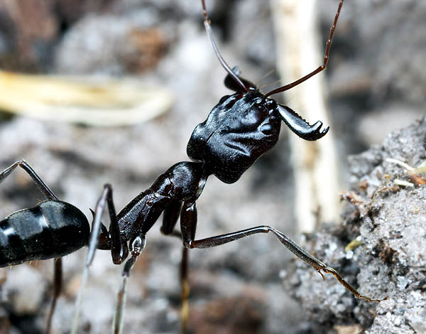 Trap Jaw Ant Size Trap Jaw Ant